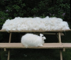 This rabbit produced this much wool in one year.© Windsor Farms Rabbitry, all rights
